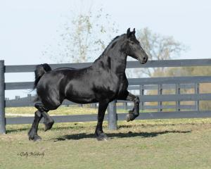 Callet Friesian Stb Mare